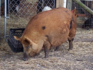 My baby girl is now every bit as big as Petunia was when she first arrived as Bacon.  Now how to keep her from running afoul of hunters or neighbors as Petunia did?